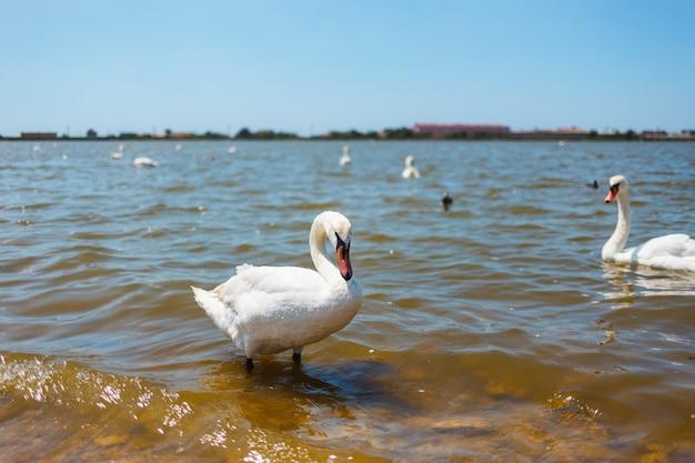 Cigni bianchi con anatroccoli su un lago sullo sfondo della città Foto Premium