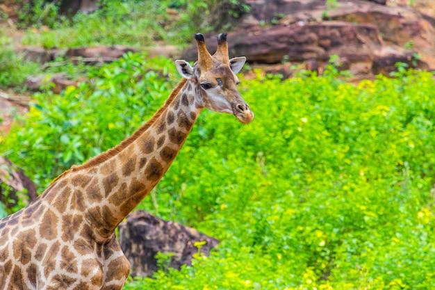 Cime di giraffa masai faccia intorno al cespuglio Foto Premium