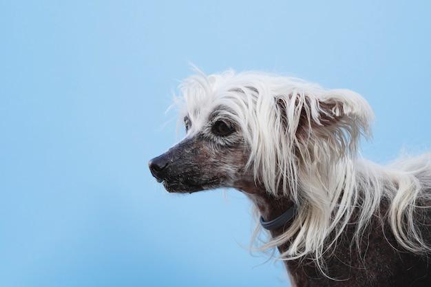 Cinese crestato con i capelli lunghi bianchi che guarda lontano Foto Gratuite