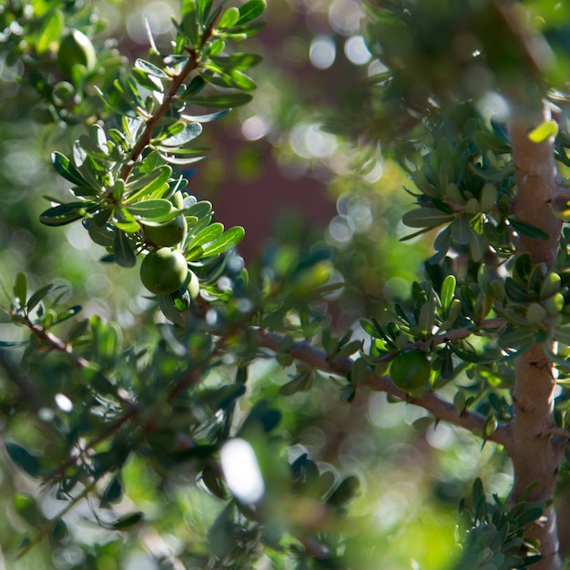 Close-up di argan tree (argania spinosa), atlas mountains, marocco Foto Premium