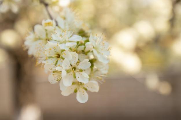 Close-up di fiori di melo in primavera. Foto Premium