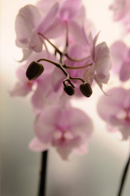 Close Up Di Orchidee Bianche Su Sfondo Chiaro Phalaenopsis Orchidea