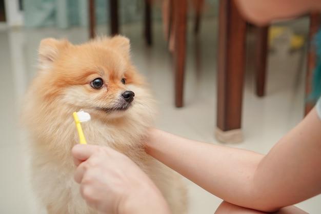 Close up su pet, razza di cane di piccola taglia per pomeranian, in piedi sul pavimento di granito e proprietario si prepara a lavarsi i denti da compagnia Foto Premium