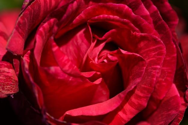 Closeup Di Una Rosa Rossa Con Petali Imperfetti Scaricare Foto Gratis