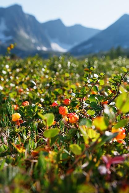 Cloudberry cresce nella foresta. carelia settentrionale. Foto Premium