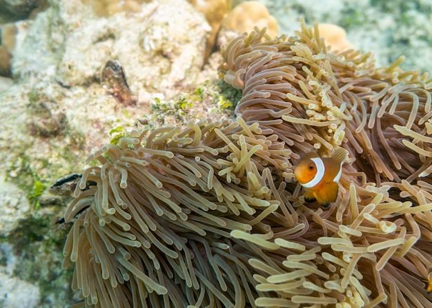 Clownfish che nuota nella barriera corallina Foto Premium