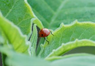 Coccinella scarabeo scaricare foto gratis - Coccinella foto gratis ...