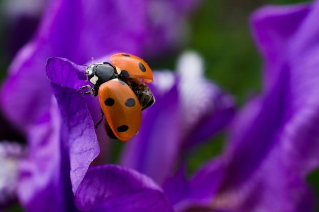 Coccinella si siede su un bellissimo fiore viola Foto Premium