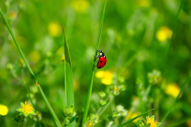 Coccinella su filo d'erba Foto Premium