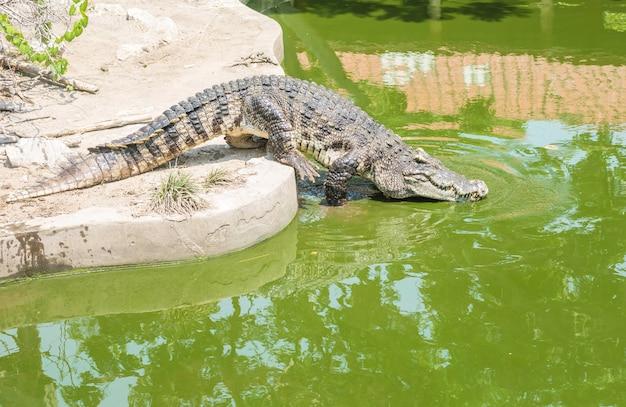 Coccodrillo del primo piano nel fondo dello stagno dell'alligatore Foto Premium