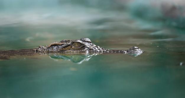 Coccodrillo viso e riflesso nell'acqua Foto Premium