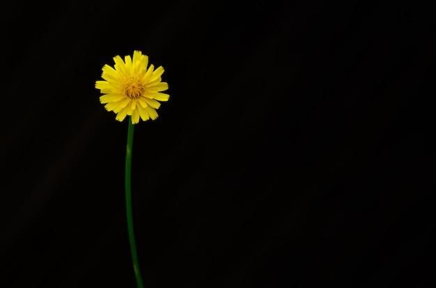 Colore giallo del fiore di tarassaco isolato su sfondo scuro con spazio per il testo. Foto Premium