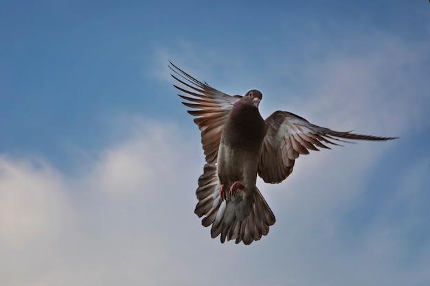 Colore rosso choco del piccione viaggiatore in bilico a mezz'aria contro il bel cielo blu Foto Premium
