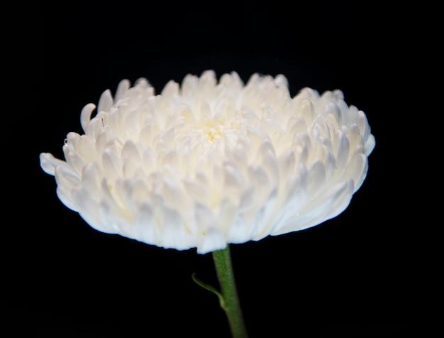 Colpo a macroistruzione del crisantemo bianco Foto Gratuite