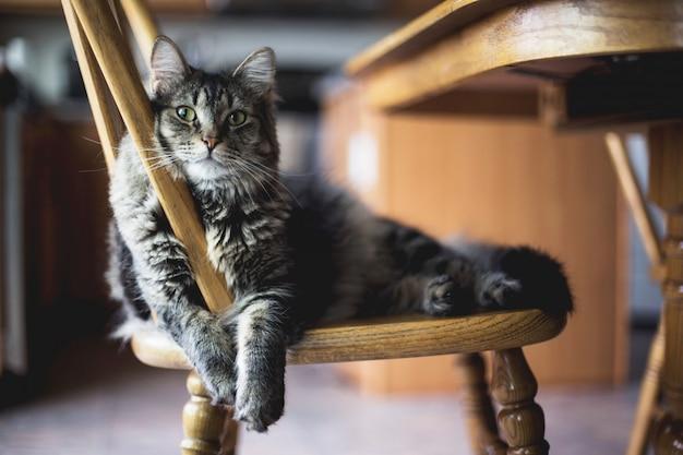 Colpo del primo piano del fuoco selettivo di un gatto di soriano simile a pelliccia grigio che si siede su una sedia di legno Foto Gratuite