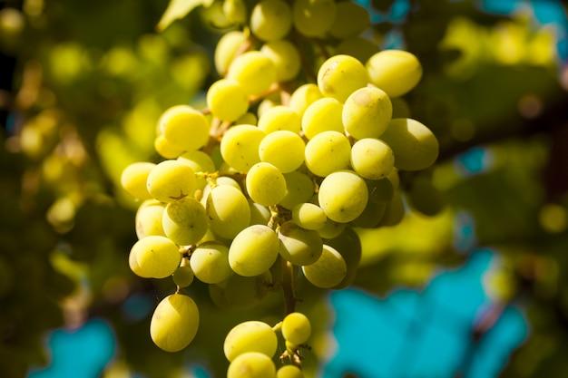 Colpo del primo piano dell'uva fresca nel giardino Foto Gratuite