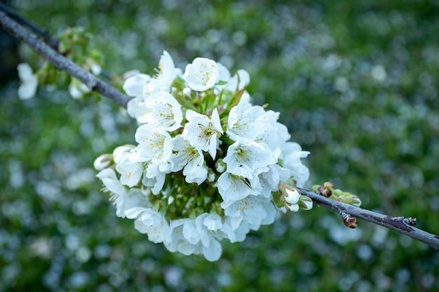 Colpo del primo piano di bei fiori bianchi del fiore di ciliegia Foto Gratuite