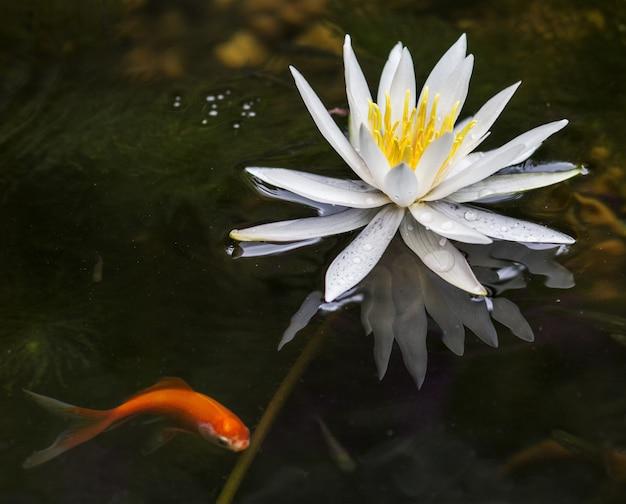 Colpo del primo piano di bello fiore di loto che fiorisce in un lago con un pesce dell'oro dal lato Foto Gratuite