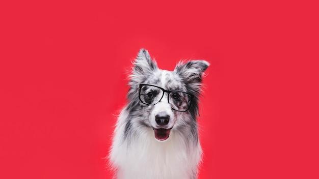 Colpo dello studio del cane sveglio di border collie Foto Gratuite