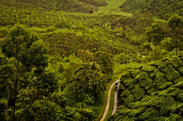 Colpo di alto angolo di una via nel mezzo della piantagione di tè in malesia Foto Gratuite