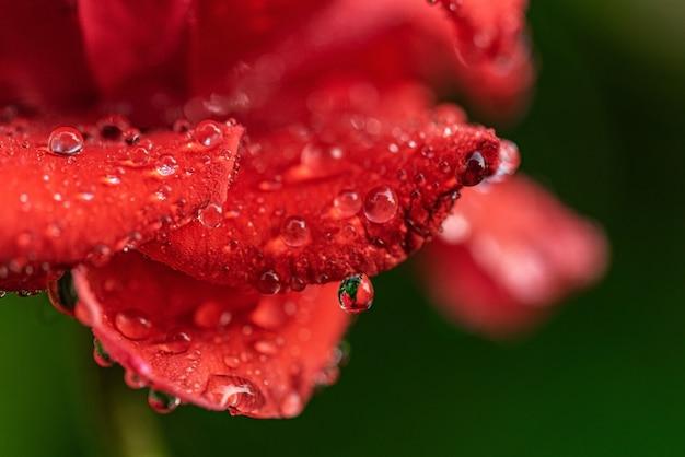 Colpo di macro del fiore di rosa Foto Premium