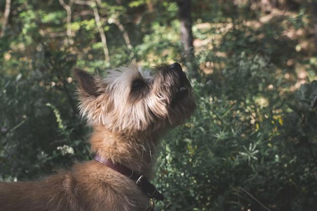 Colpo di messa a fuoco selettiva di un simpatico cane terrier australiano godendo la giornata nel mezzo di un giardino Foto Gratuite