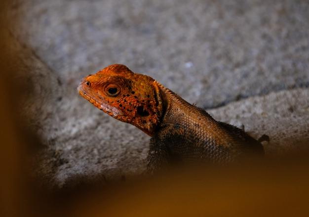 Colpo di messa a fuoco selettiva di una lucertola arancia e nera su una roccia Foto Gratuite