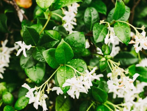 Colpo estremo del primo piano delle goccioline di acqua sulle foglie del fiore del gelsomino Foto Gratuite