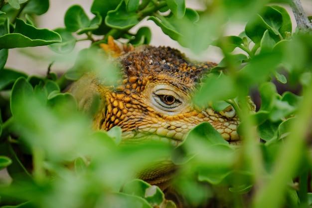 Colpo estremo del primo piano di un'iguana che si nasconde nelle piante Foto Gratuite