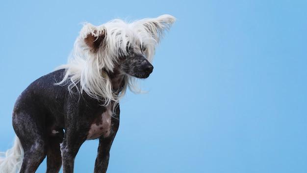Colpo lungo del cane crestato cinese con fondo blu Foto Gratuite