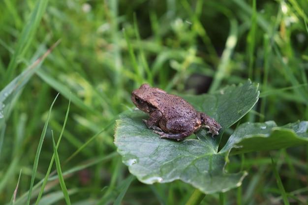 Colpo selettivo del primo piano di una rana marrone su una foglia verde in un campo di erba Foto Gratuite