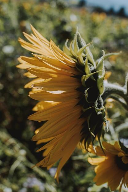 Colpo verticale di un girasole che cresce dal lato della strada un giorno soleggiato luminoso Foto Gratuite