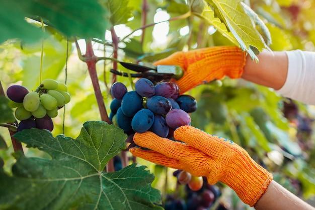 Coltivatore che raccoglie il raccolto dell'uva in azienda agricola, donna che taglia l'uva da tavola blu con il potatore Foto Premium