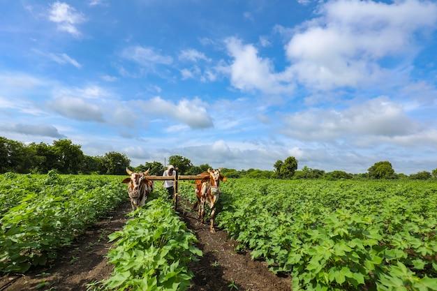 Coltivatore indiano che lavora con il toro nel suo campo di cotone Foto Premium