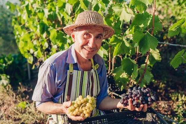 Coltivatore raccolta delle uve in fattoria ecologica Foto Premium