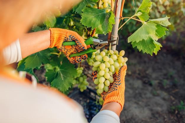 Coltivatore raccolta raccolto di uva in fattoria ecologica. Foto Premium