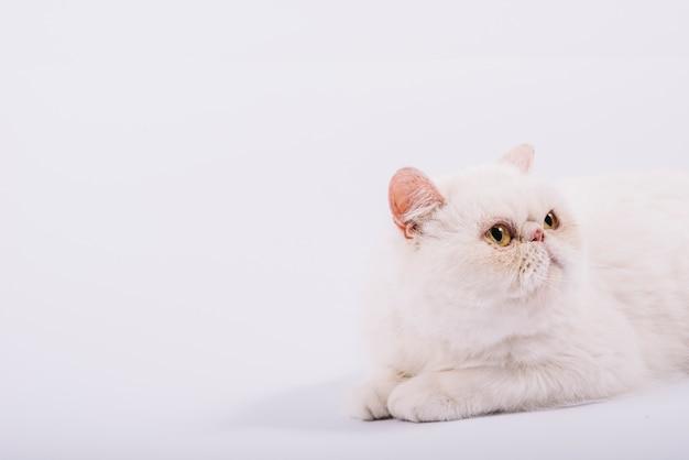 Composizione di animali domestici adorabili con gatto bianco assonnato Foto Gratuite