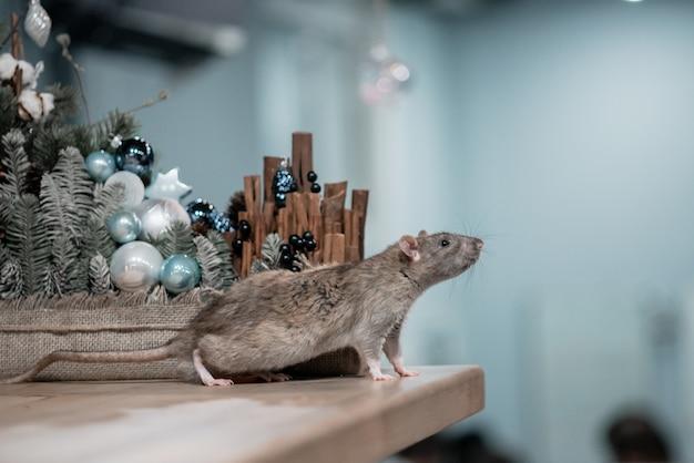 Concetto di nuovo anno. simpatico ratto domestico marrone con decorazioni di capodanno. il simbolo del 2020 è un topo Foto Premium