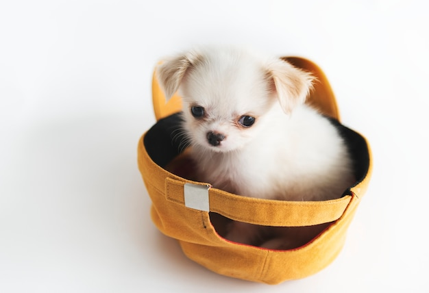 Concetto miniatura del cane della chihuahua Foto Gratuite