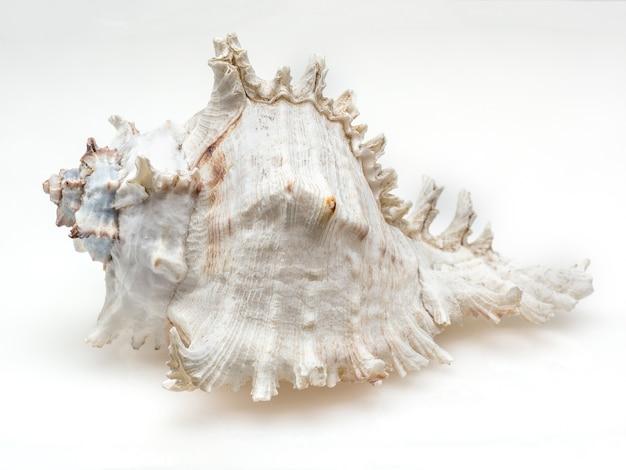 Costume Da Bagno Conchiglia : Conchiglia del primo piano su bianco scaricare foto premium