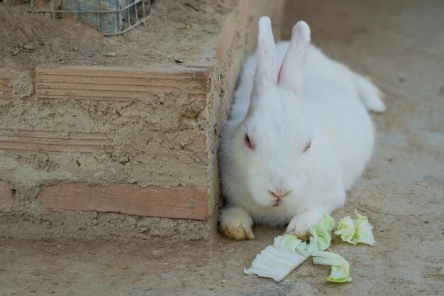 Coniglio bianco Foto Premium