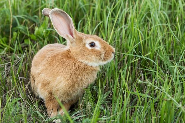 Coniglio domestico del primo piano all'azienda agricola Foto Gratuite