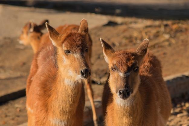 Coppia di antilopi marroni nella sabbia che guarda l'obbiettivo Foto Premium