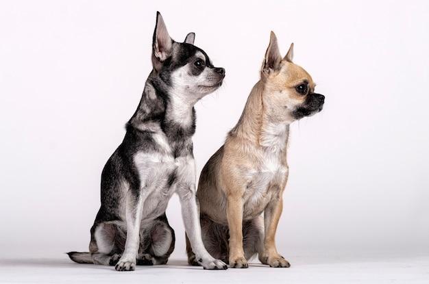 Coppia di chihuahua, maschio e femmina che guardano verso il lato Foto Premium