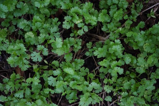 Coriandolo del primo piano, foglie del coriandolo. Foto Premium