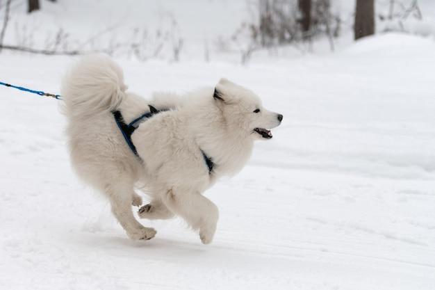 Corse di cani da slitta. cane da slitta samoiedo in imbracatura corsa e tirare cane driver. competizione di campionati sportivi invernali. Foto Premium
