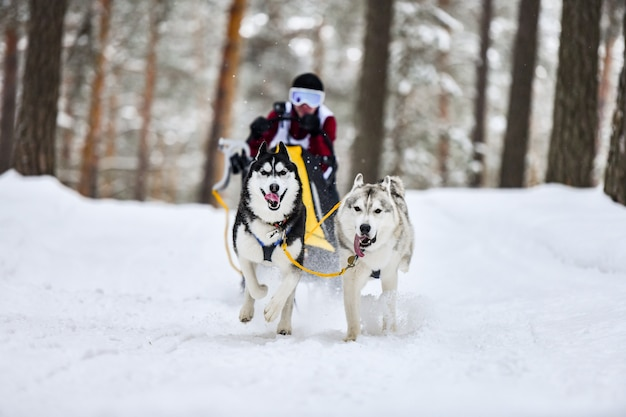Corse di cani da slitta husky siberiano Foto Premium