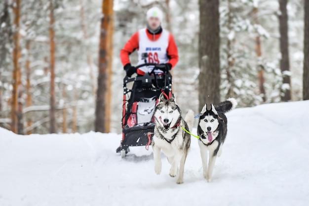 Corse di cani da slitta husky Foto Premium