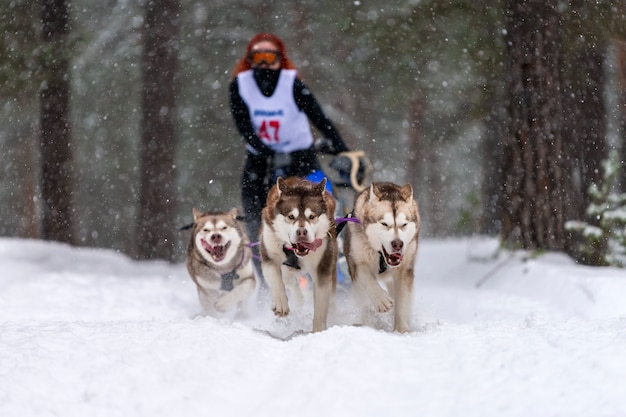 Corse di cani da slitta. la squadra di cani da slitta husky tira una slitta con autista di cani. competizione invernale. Foto Premium
