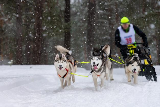Corse di cani da slitta. la squadra di cani da slitta husky tira una slitta con musher cane. competizione invernale. Foto Premium